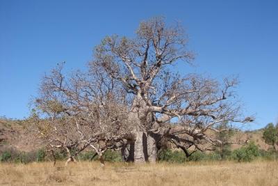 boab tree kimberley region
