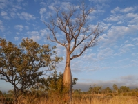 Boab tree in Outback Australia