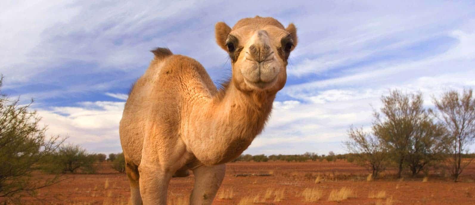 Australian Camel in Outback