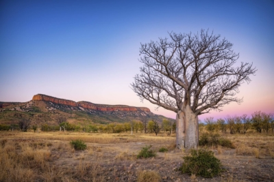 Sunset sky, tree in Western Australia. My Favourite Boab... My favorite boab in the multiverse. This is Balanggarra and Ngarinyin country.