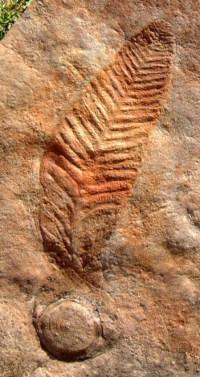 Charniodiscus Arboreus Mandatory Credit South Australian Museum