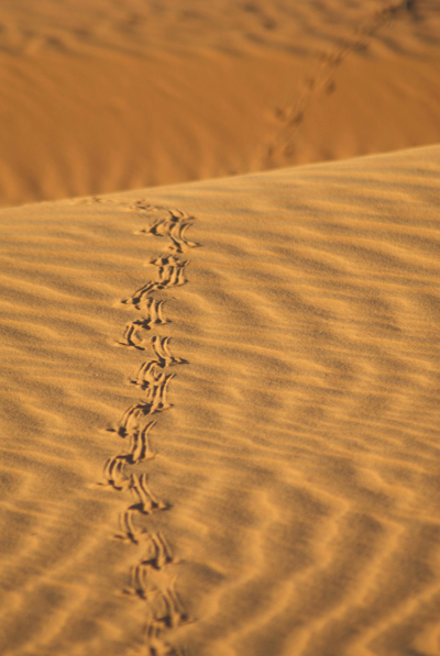 Lizard tracks on red dirt Mandatory credit: Tourism Western Australia