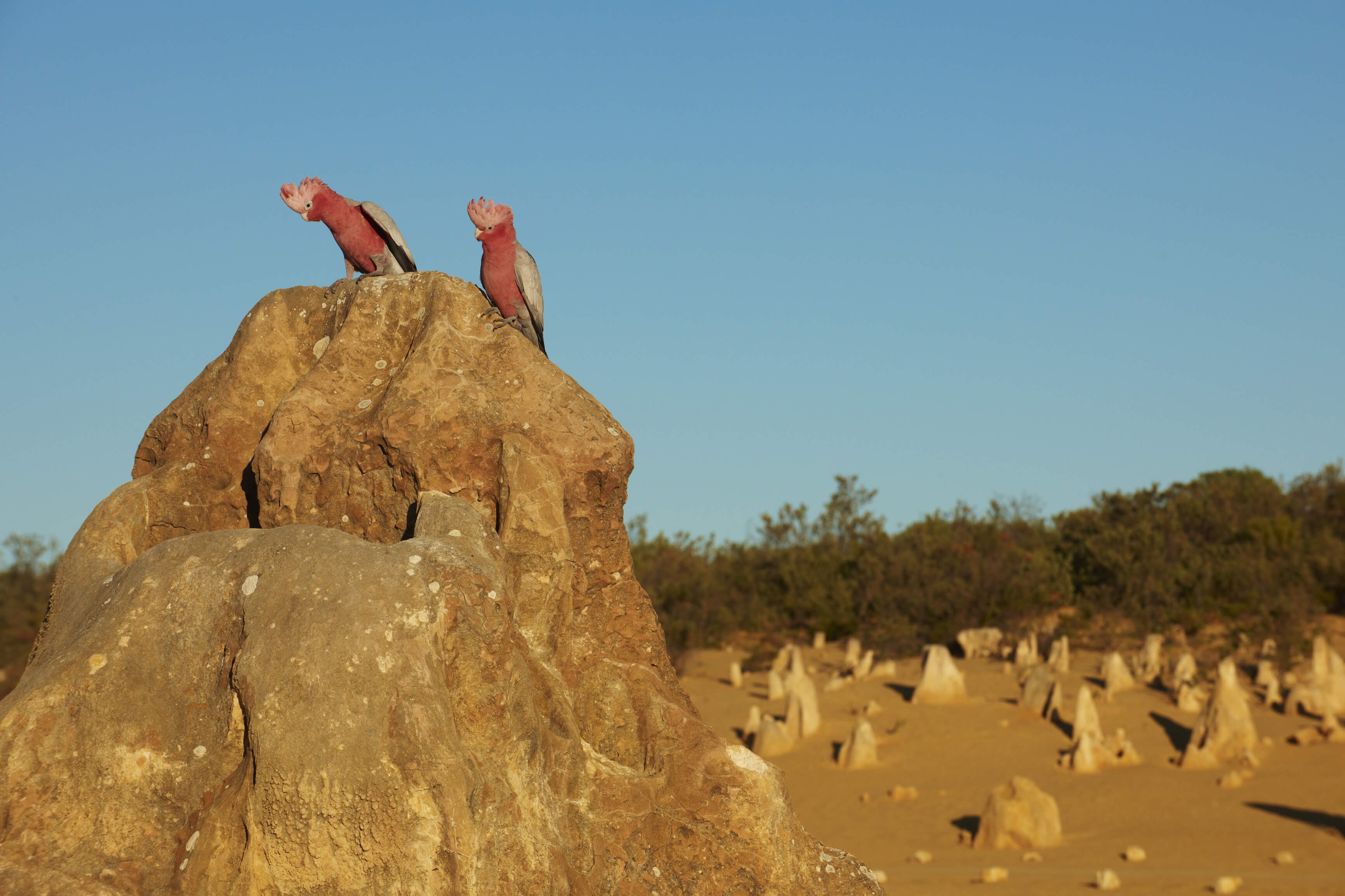Pink and Grey Galahs (Eolophus roseicapilla) in The Pinnacles, located in the Nambung National Park