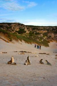 Seal Bay Conservation Park Mandatory Credit South Australian Tourism Commission